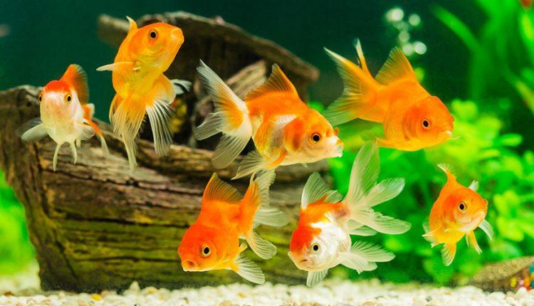 Cichlid Pellets The Best Fish Food For Cichlids